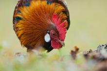 chicken foraging